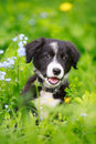 Border collies black puppy dog Royalty Free Stock Image