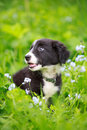 Border collies black puppy dog Stock Photography