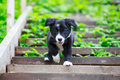 Border collies black puppy dog Stock Photo