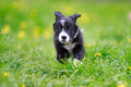 Border collies black puppy run Royalty Free Stock Photo