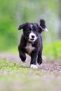 Border collies black puppy walk Royalty Free Stock Images