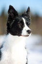 Border collies portrait in winter forest Royalty Free Stock Photography