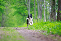 Border collies run in park Royalty Free Stock Photo