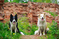 Border collies two on green grass Stock Images