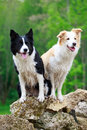 Border collies two on rocks Stock Photography