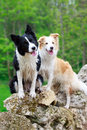 Border collies two on rocks Stock Photos