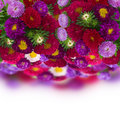Border of fresh aster flowers isolated on white background Stock Image