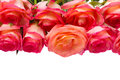 Border of fresh  pink  roses Royalty Free Stock Photos
