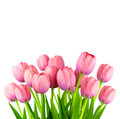 Border of Fresh Pink Tulips,  fresh flowers  isolated on white Royalty Free Stock Photo