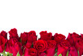Border of fresh red garden roses isolated on white background Royalty Free Stock Photography