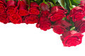 Border of fresh red garden roses isolated on white background Royalty Free Stock Image