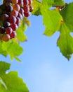 Border of grapes Royalty Free Stock Photo