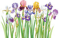 Border of iris flowers multicolor Royalty Free Stock Photo