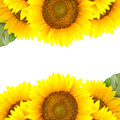 Border of large Sunflowers with  One green leaf