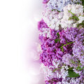 Border of lilac flowers Stock Image