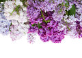 Border of lilac flowers isolated on white background Stock Images