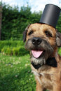 Border terrier dog with bow tie and top hat dressed up as a groom Stock Photos