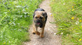 Border terrier dog runs around a country park Royalty Free Stock Photography
