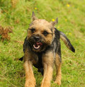 Border terrier dog runs around a country park Stock Photos