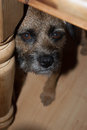 Border terrier underneath table peaking from Stock Photo