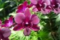 Bordo Orchid