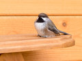 Boreal chickadee poecile hudsonicus passerine bird small of tit family paridae sitting on wood lumber Stock Photo
