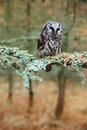 Boreal owl in the forest. Small bird sitting on branch. Animal taken with wide angle lens. Bird in nature habitat, Sweden, Boreal Royalty Free Stock Photo