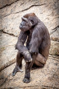 Bored ape in zoo Royalty Free Stock Photo
