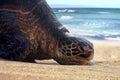 Bored & Lazy Sea Turtle resting, lounging, sunbathing on Maui sand beach Royalty Free Stock Photo