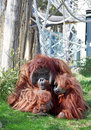 Bornean Orangutan Royalty Free Stock Photography