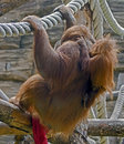 Bornean orangutan 5 Stock Photography