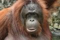 Borneo ( )