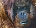 Bornean Orangutan in zoo Stock Images