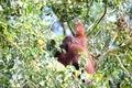 Borneo orang utan danum valley in the primary rainforest sabah malaysia Stock Photo