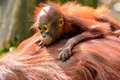 Borneo orangutan and baby watching Stock Photography