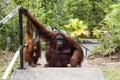Borneo Orangutan family Royalty Free Stock Photo