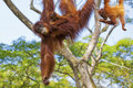 Borneo orangutan in the jungle of malaysia Royalty Free Stock Images