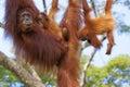 Borneo orangutan in the jungle of malaysia Stock Photo