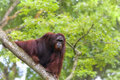 Borneo orangutan in the jungle of malaysia Stock Photo
