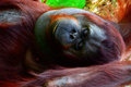 Borneo orangutan lies and chillin Royalty Free Stock Photos