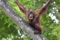 Borneo orangutan making funny face in the jungle of malaysia Royalty Free Stock Photography