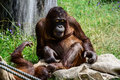 Borneo orangutan playing in the grass Royalty Free Stock Photo