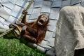 Borneo orangutan playing in the grass Stock Image