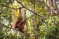 Borneo orangutan wild captured in sarawak malaysia Royalty Free Stock Image