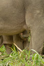 Borneo pygmy baby elephant hiding behind his mother family of wild s elephants eating grass malaysia Royalty Free Stock Images