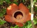 Borneo Rafflessia Stock Images