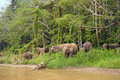 Borneo s pygmy elephants family of wild eating grass malaysia Stock Images