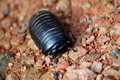 Borneo Sphaerotheriida Giant Pill Millipede Royalty Free Stock Photo