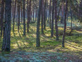 Boron seaside coastal forest with lichen and crowberry Royalty Free Stock Image