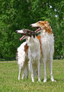 Borzoi Royalty Free Stock Photography